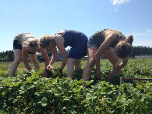 Gap Year: Berry Harvest